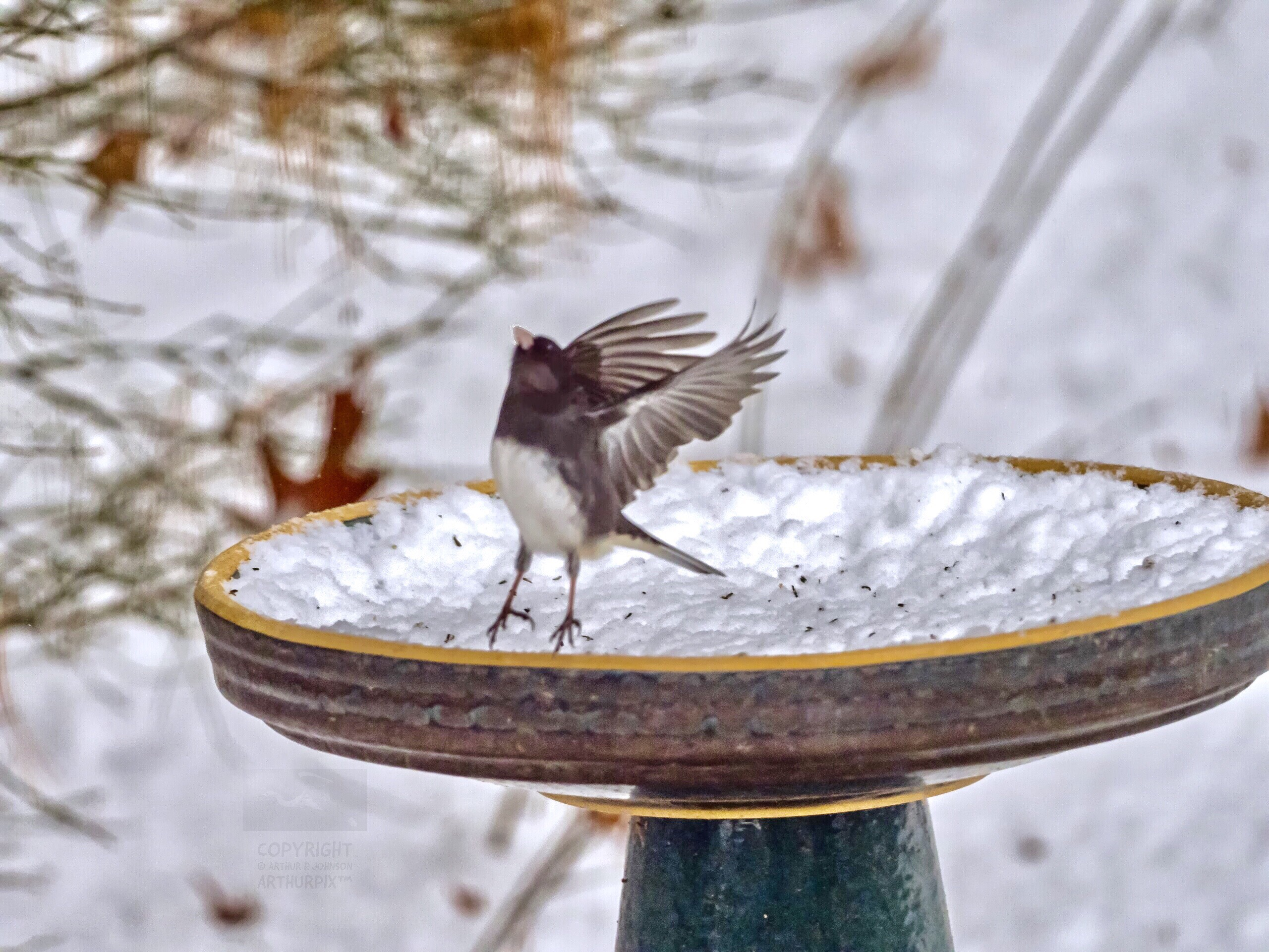 A Dark-Eyed Junco Taking Flight from Snow-Filled Bird Batg