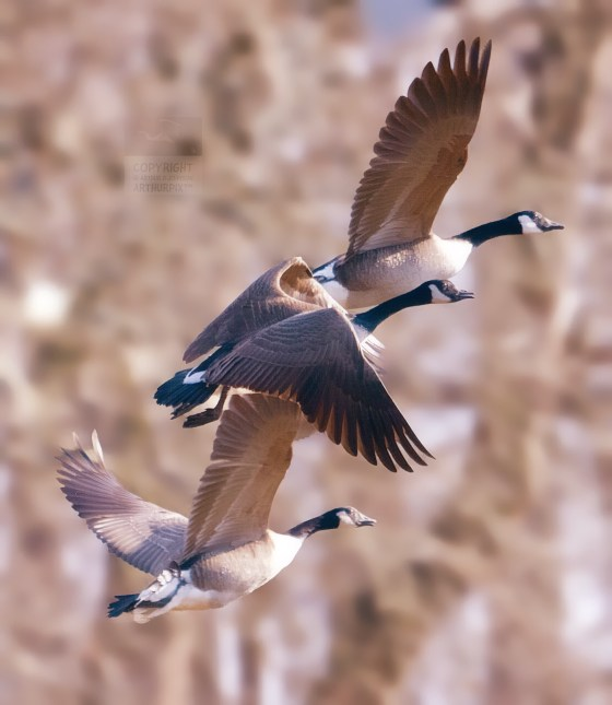 Three Canada Geese, rising skyward