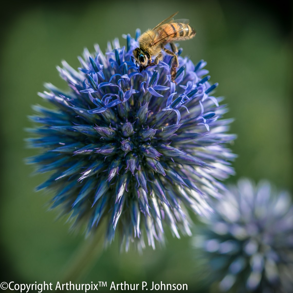 Honeybee on purple Globe Amarynth