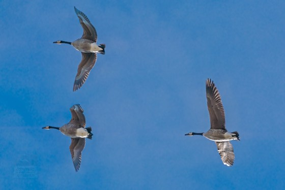 Three Canada Geese flying directly overhead