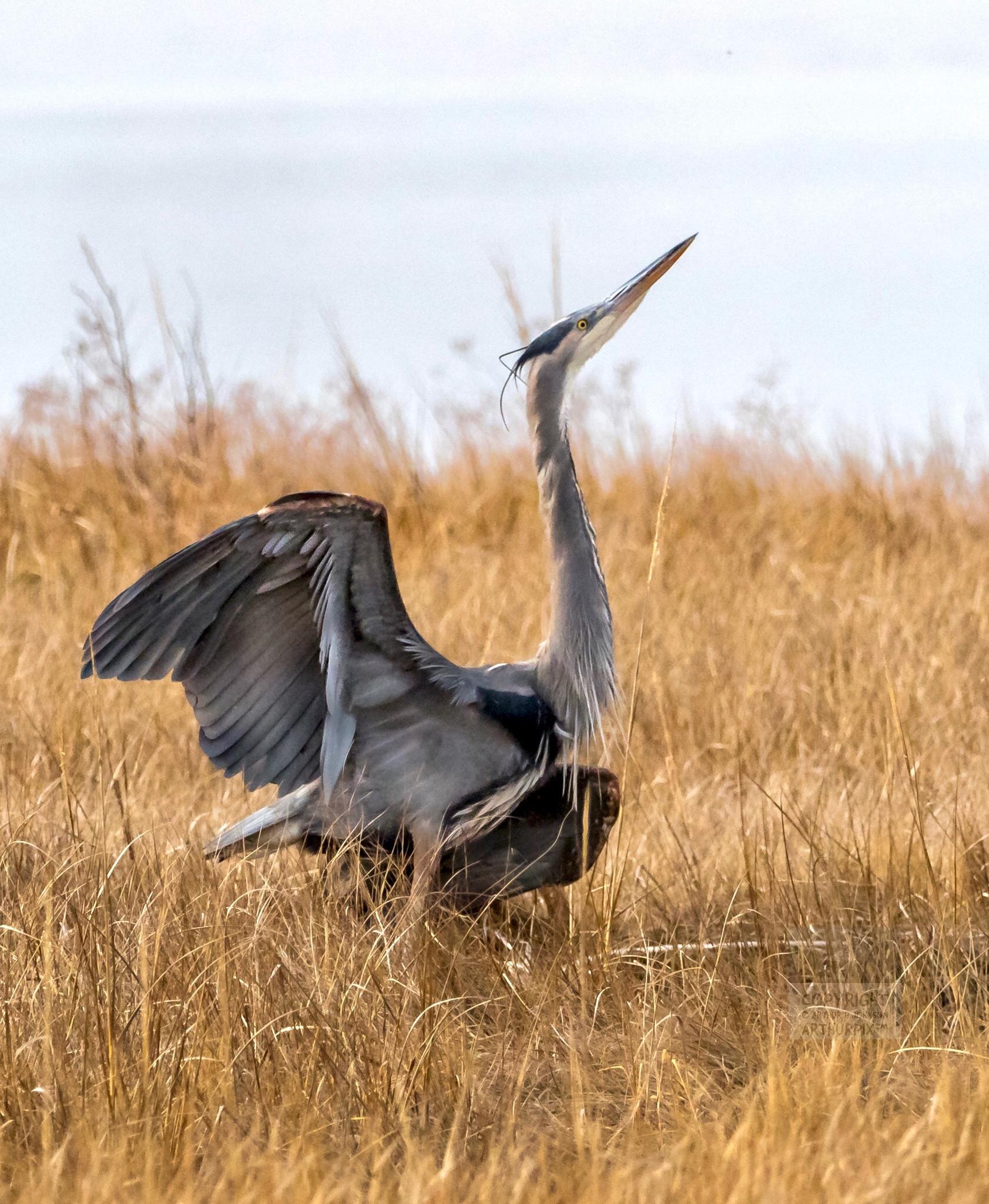 Little Blue Heron Taking Flight