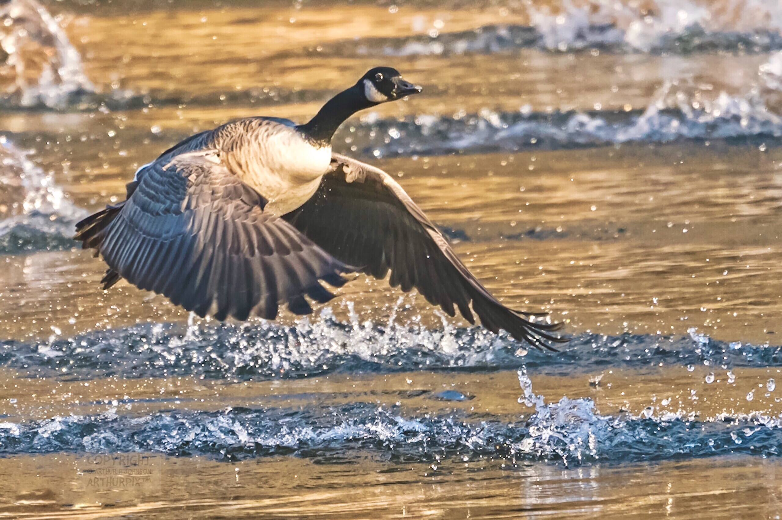 Canada Goose lifting off from a golden pond