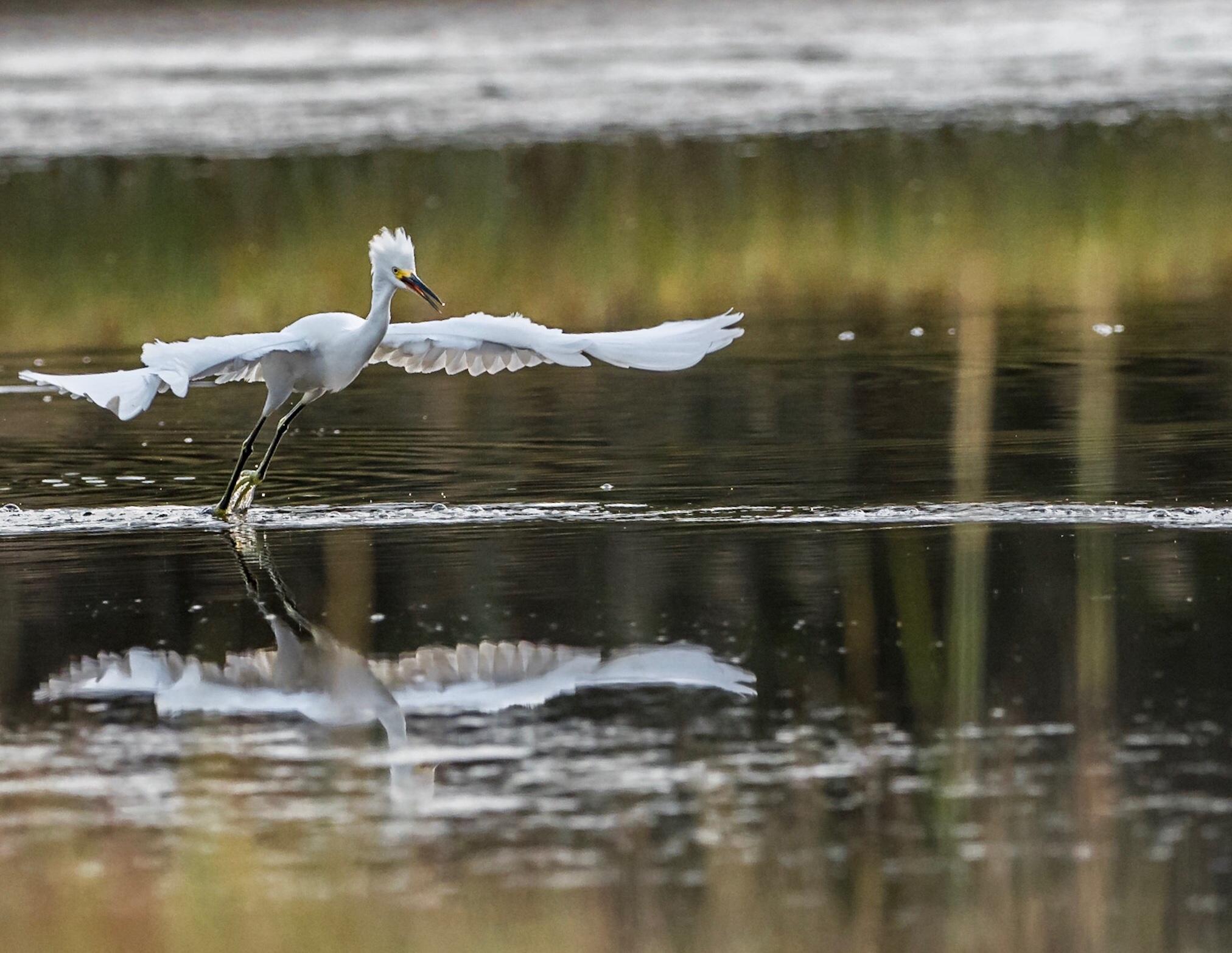 Juvenile Great Egret skimming a salt marsh pool