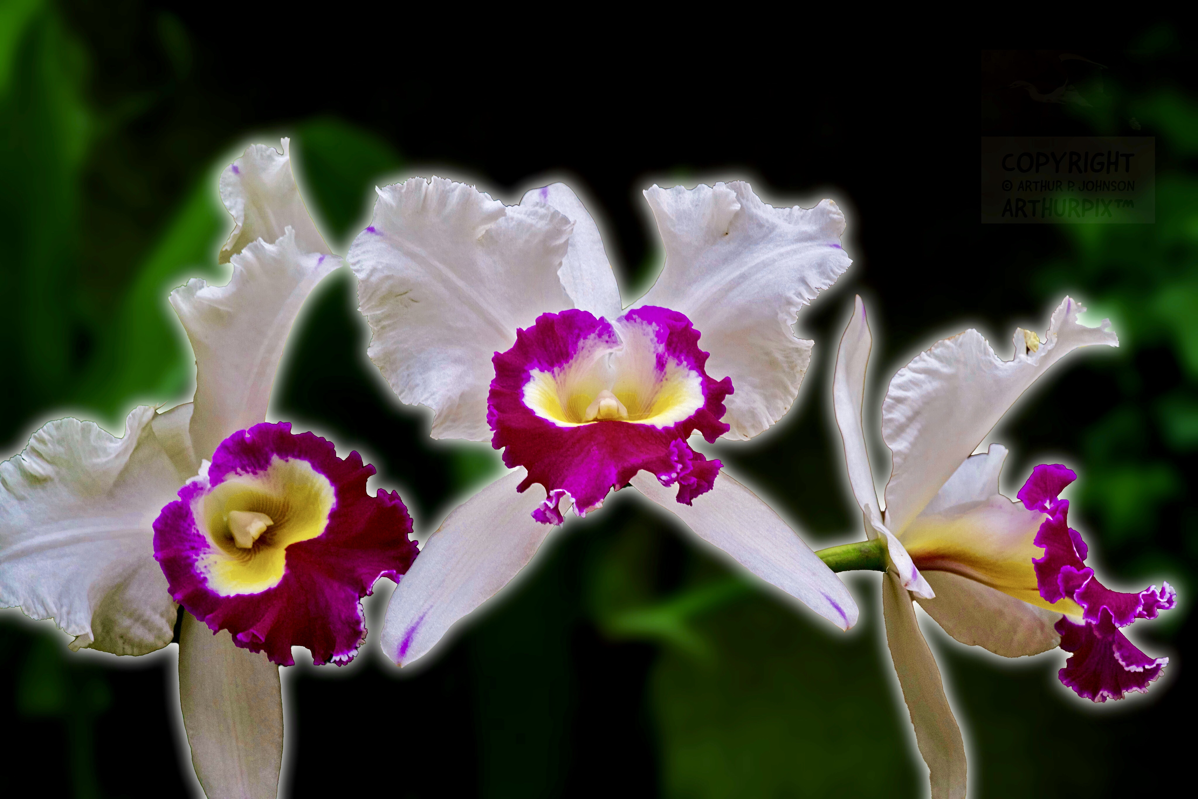 Violet and White Orchids from Longwood Gardens Orchid Extravaganza