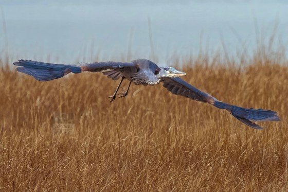 Little Blue Heron flying close to the grass of a salt marsh