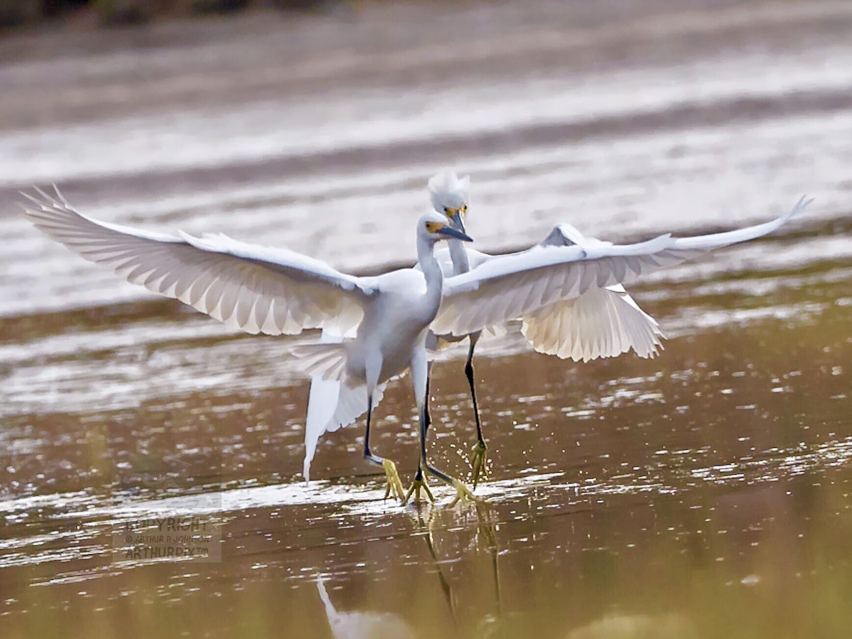 A pair of Juvenile Great Egrets scampers through a salt marsh pool.
