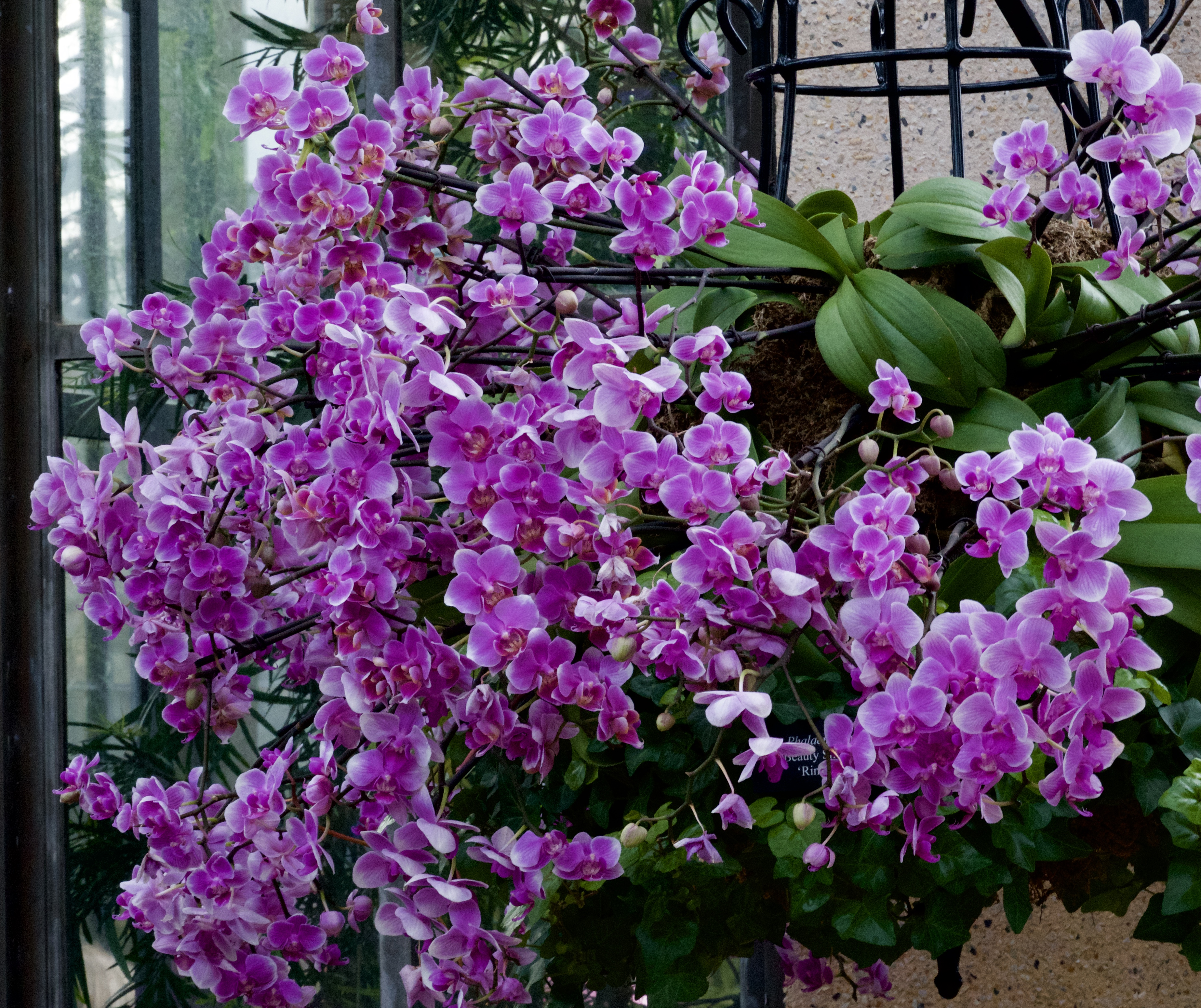 Cascade of full-size orchids in huge hanging basket.