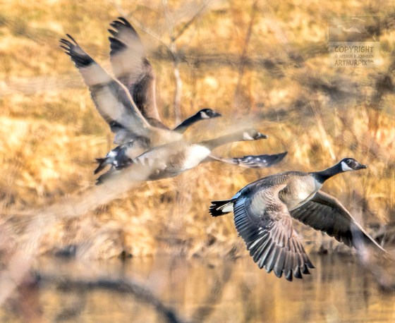 Three Canada Geese in flight, seen through the branches of a tree.
