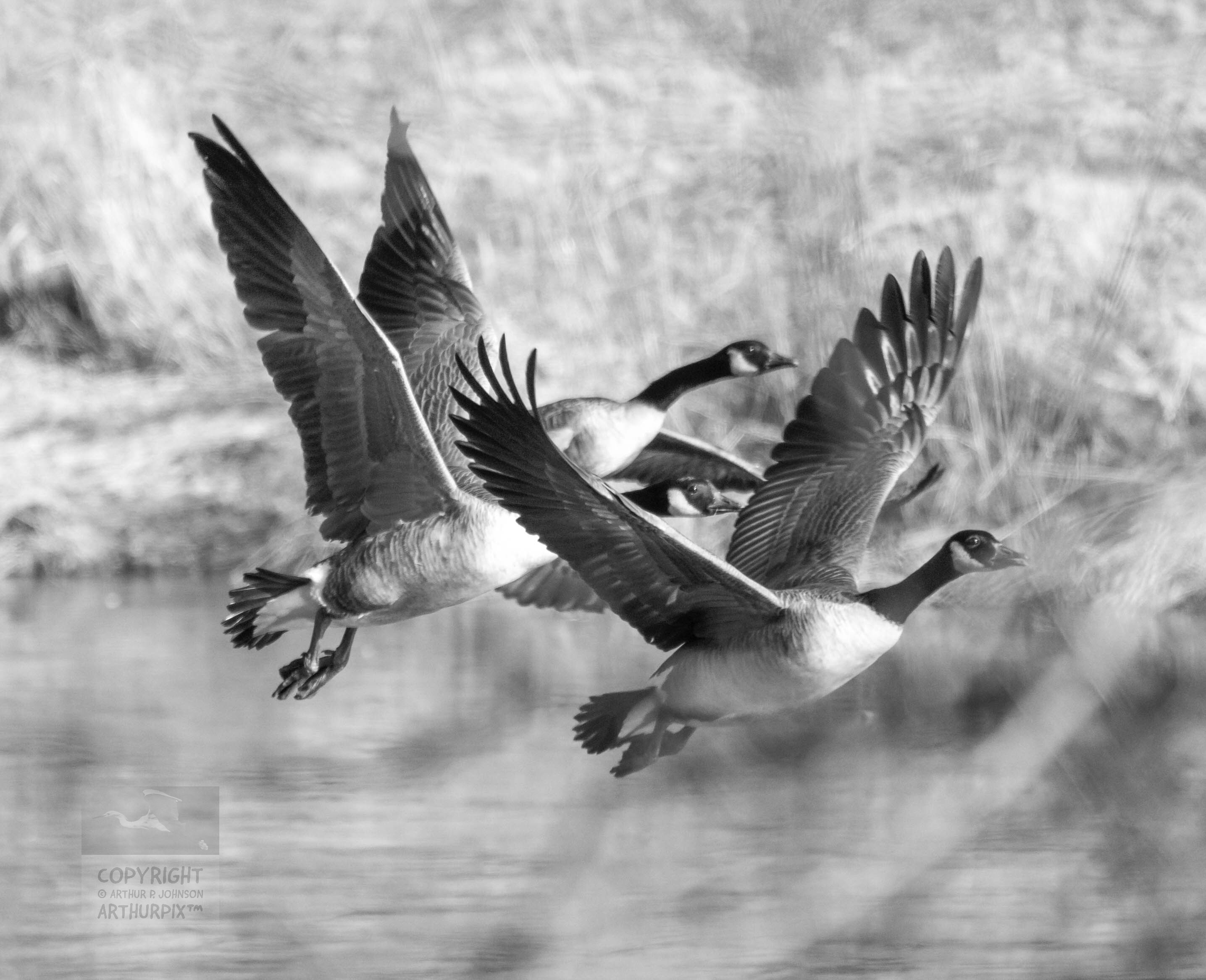 Three Canada Geese, flying over a pond.