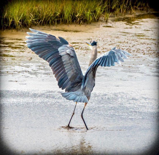 Little Blue Heron landing in salt marsh.