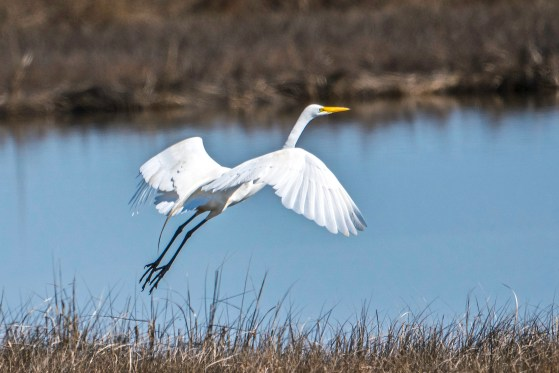 Great Egret in Flight over a salt marsh pool.