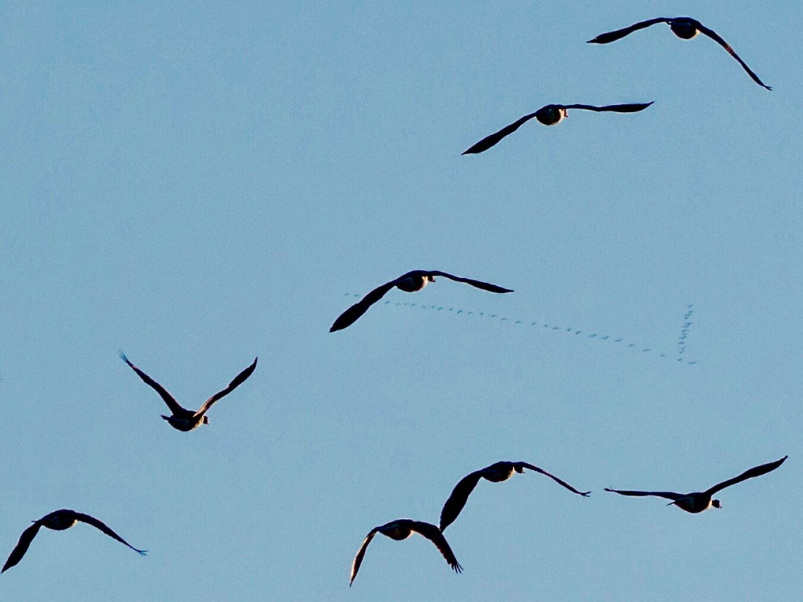 Migrating Geese in flight, near and far