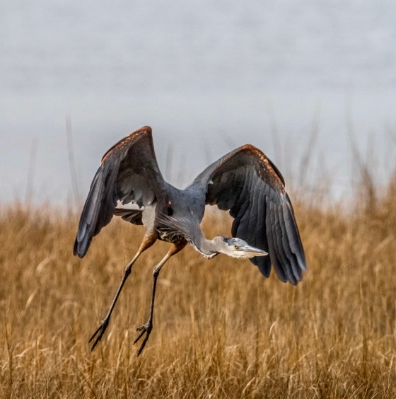 Little Blue Heron in Flight over Salt Marsh