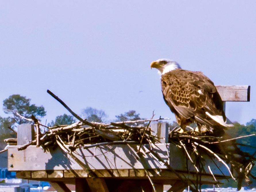 Bald Eagle on a nesting platform built for Ospreys
