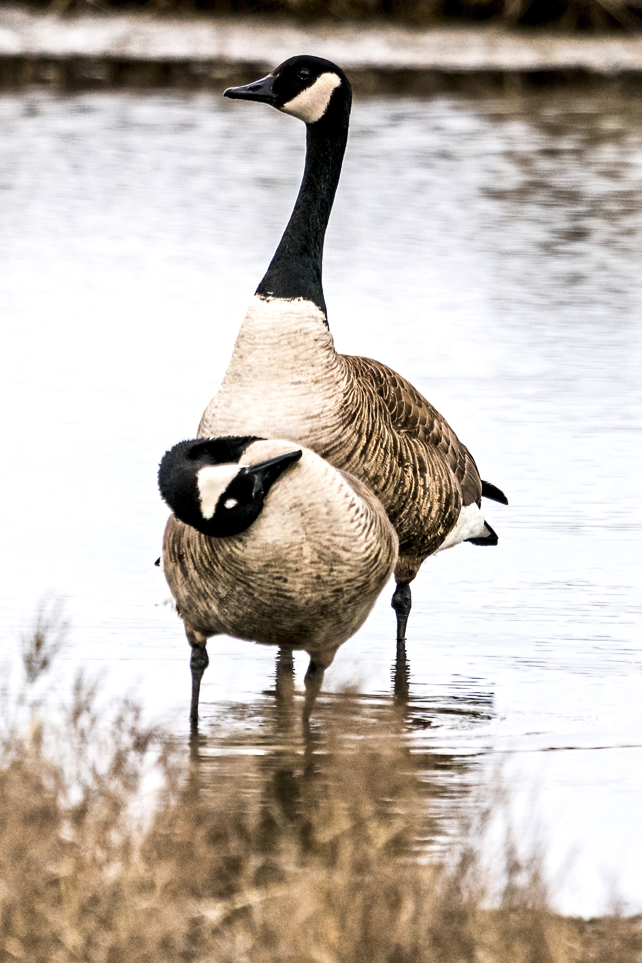 Canada Geese in Mating Dance