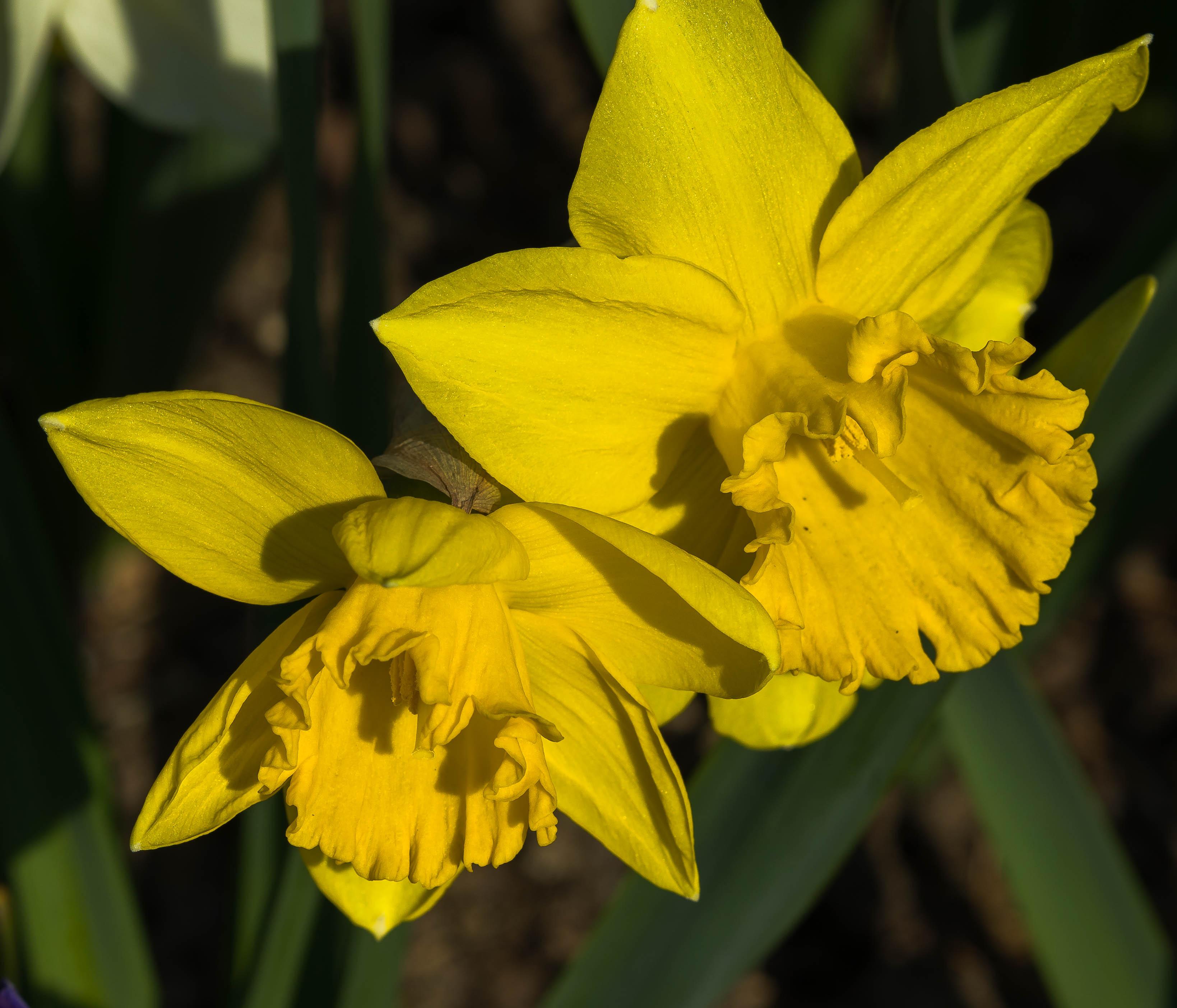 Two yellow daffodils, Longwood Gardens, April,2018