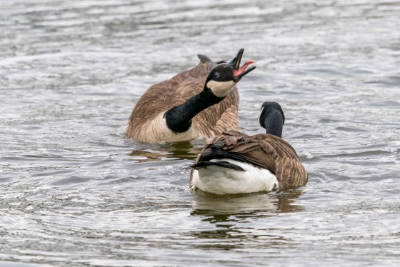 Mating Dance of Canada Geese, image 2