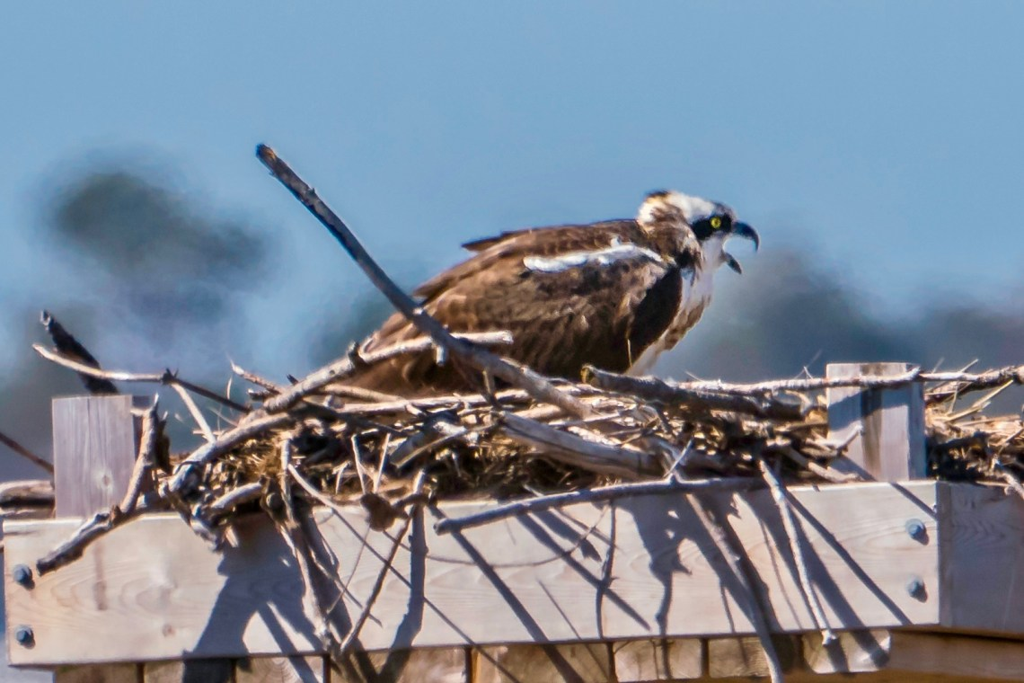 Female Osprey nesting on man-made platform, Lighthouse Cove, Fenwick Is;and, Delaware