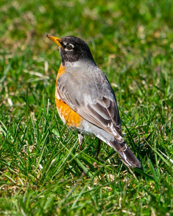 Robin in sunlight on springtime lawn.