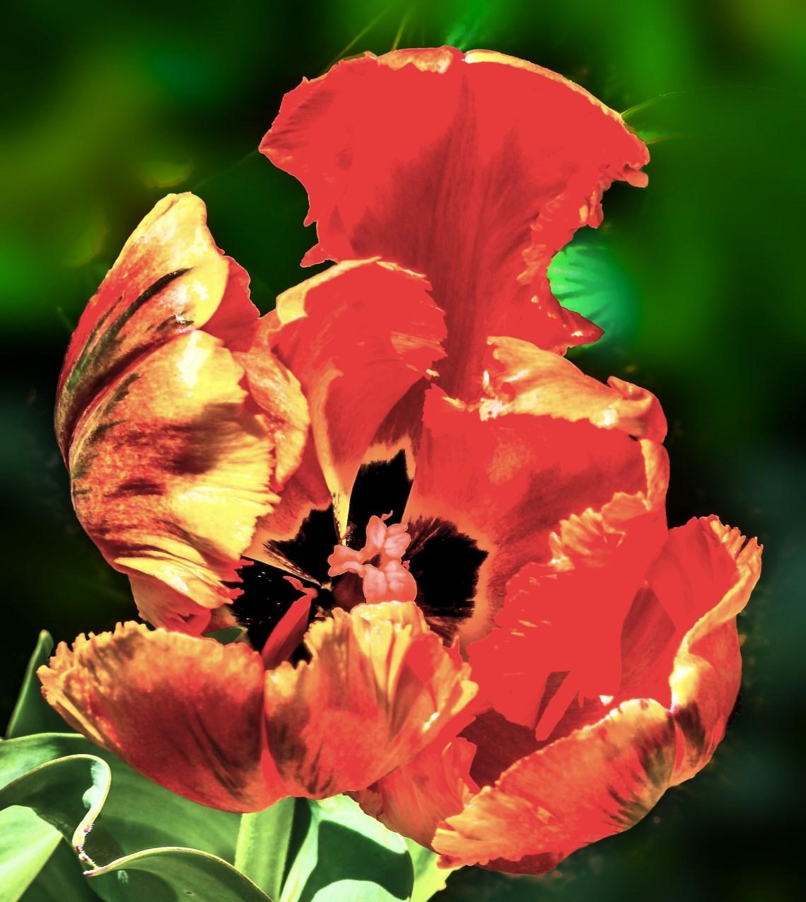 Orange and black Parrot Tulip