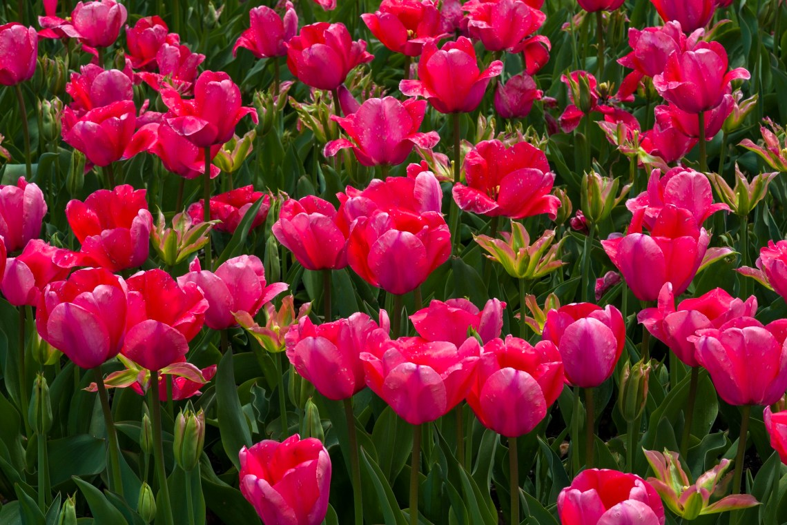 Bed of Pink and Green Tulips