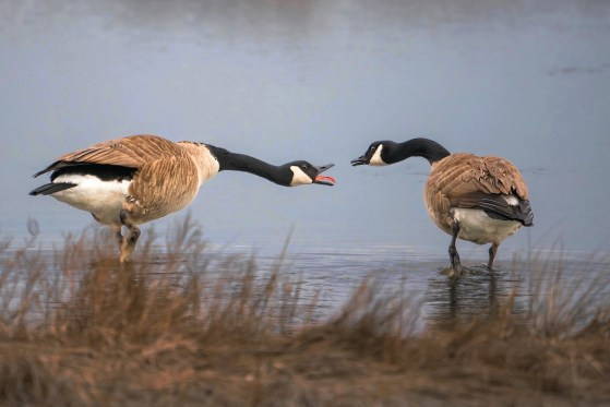 Two Canada Geese in the midst of a mating dance.
