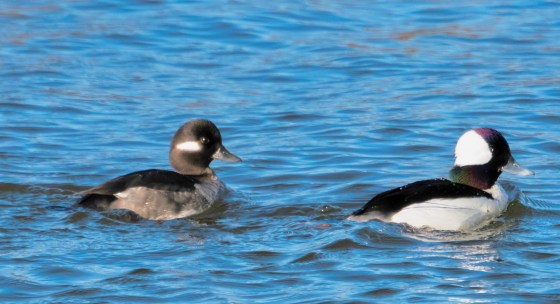 Bufflehead Duck and Drake