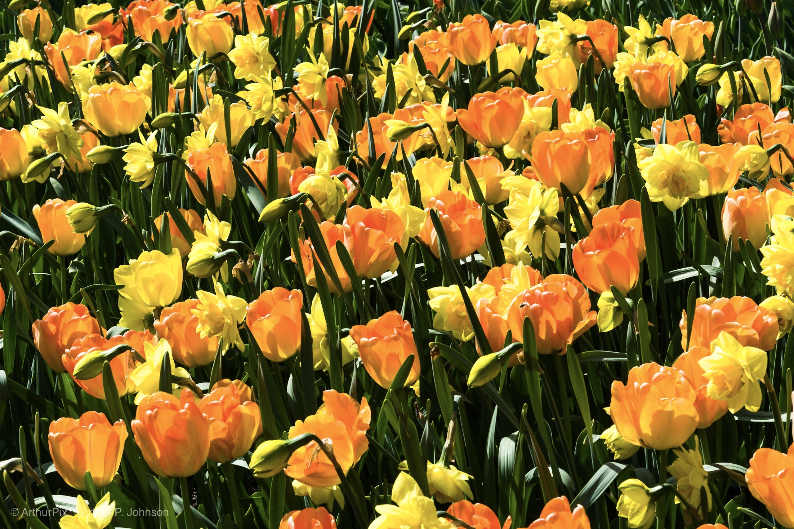 Orange Tulips and Yellow Daffodils.