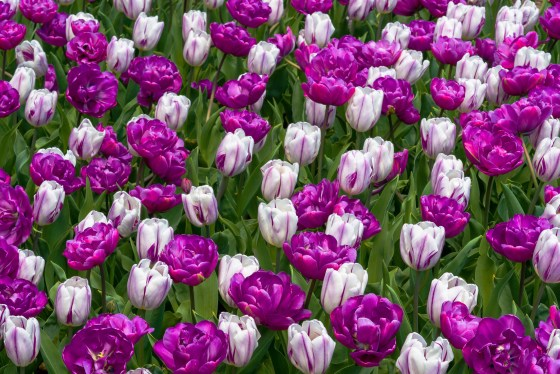 Purple double and purple stripe on white tulips.