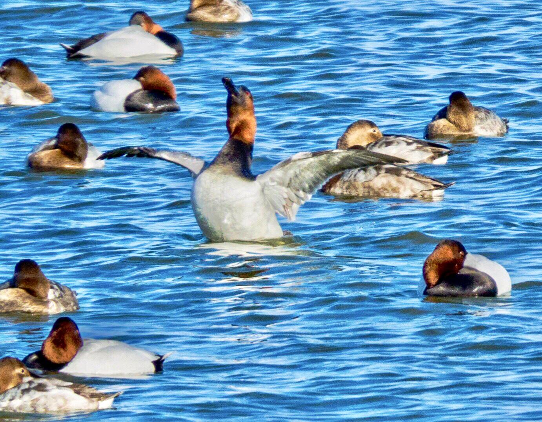 Redhead Ducks on Silver Lake, Delaware