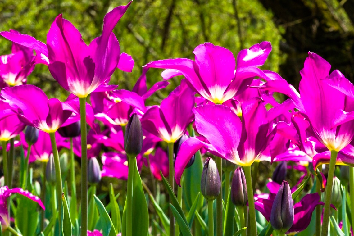 Purple Dream and Queen of the Night Tulips
