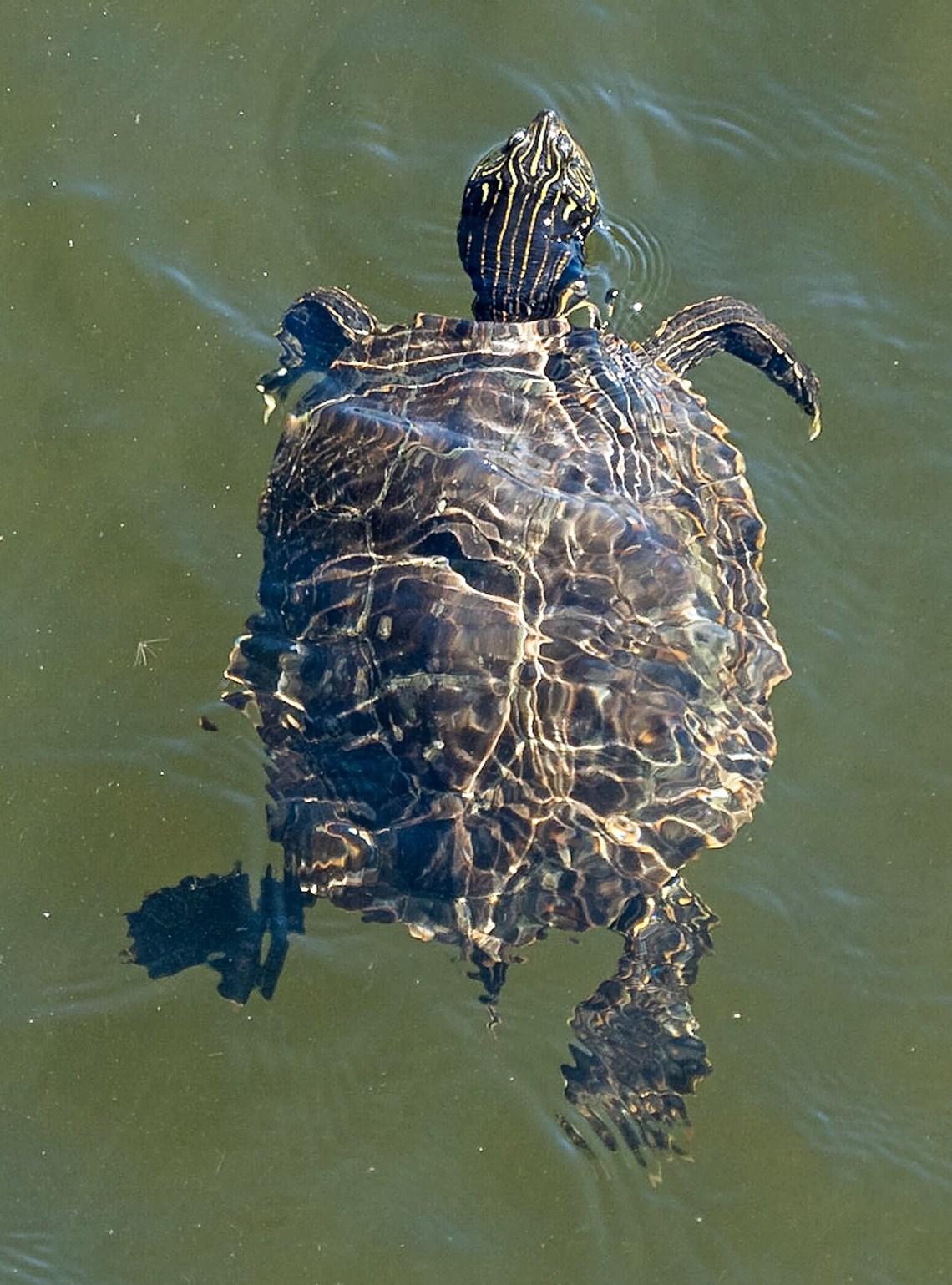 Painted Turtle Swimming Underwater