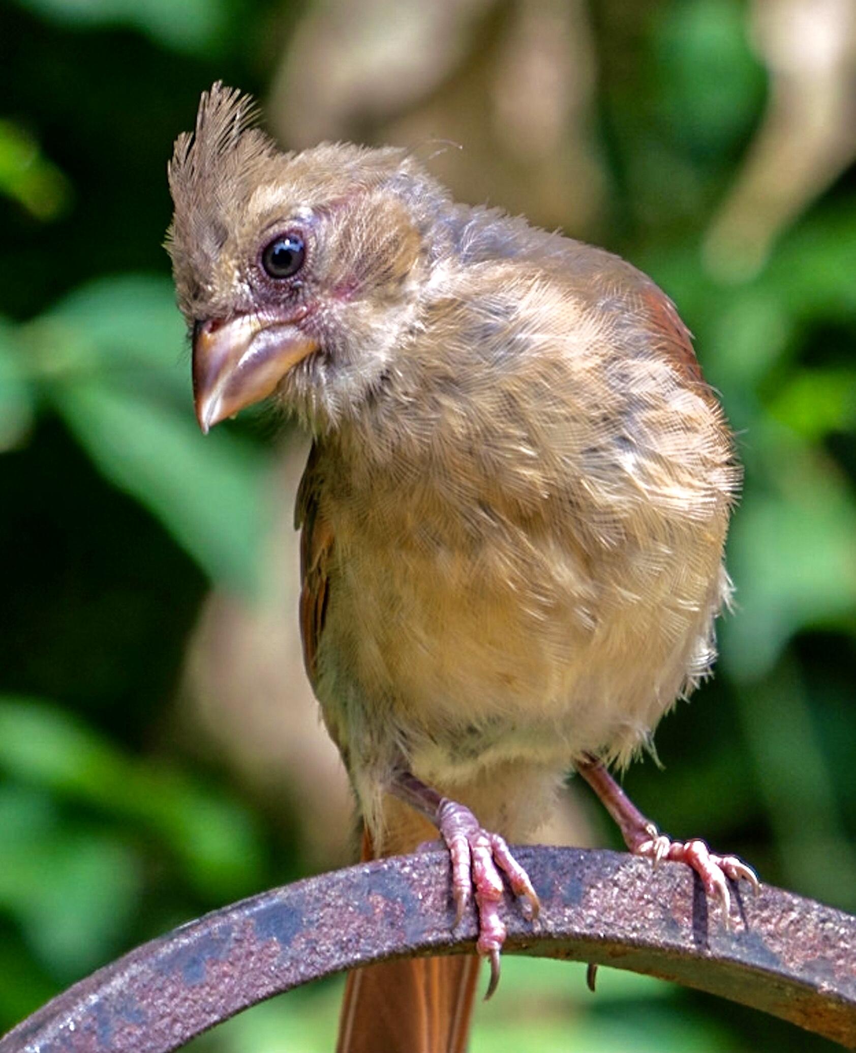 Teenaged Cardinal