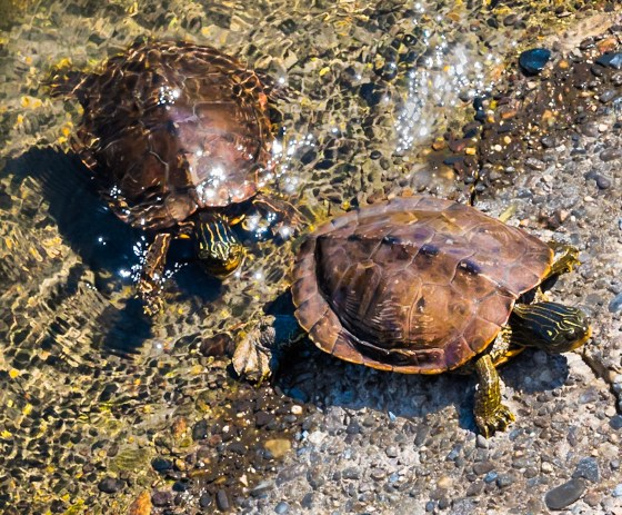 Painted Turtles emerging from a river underneath a country bridge.