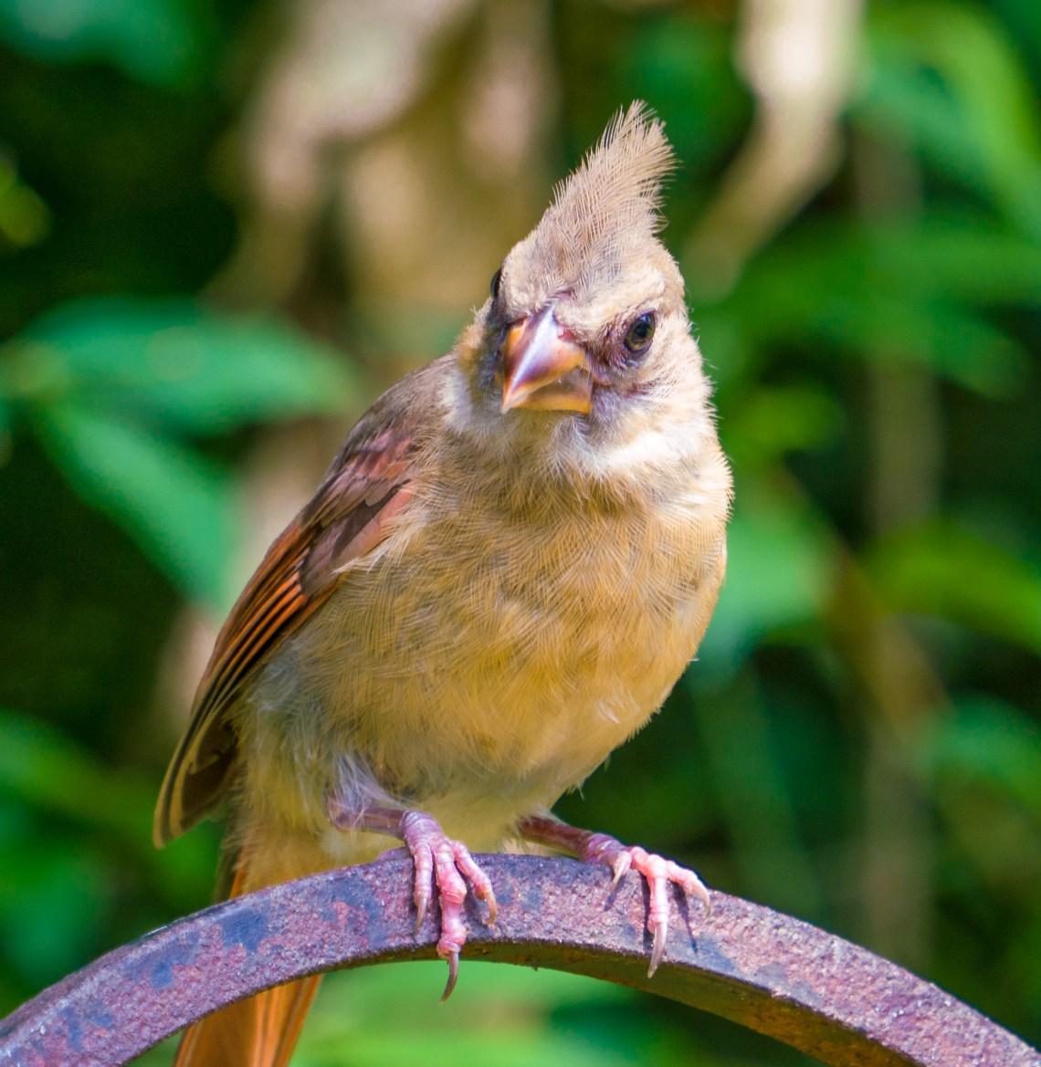 Golden plumages female Cardinal