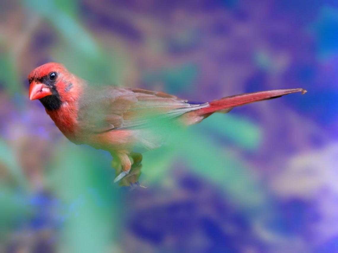 Male Cardinal, hiding