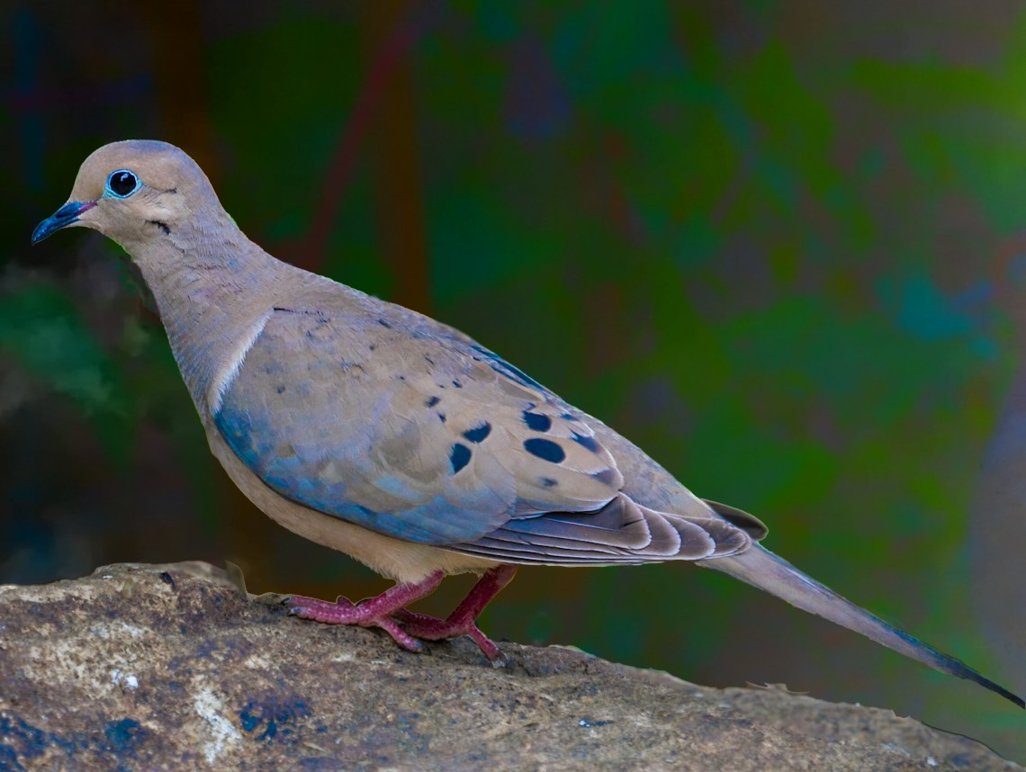 Maureen Mourning Dove, #3 of Three