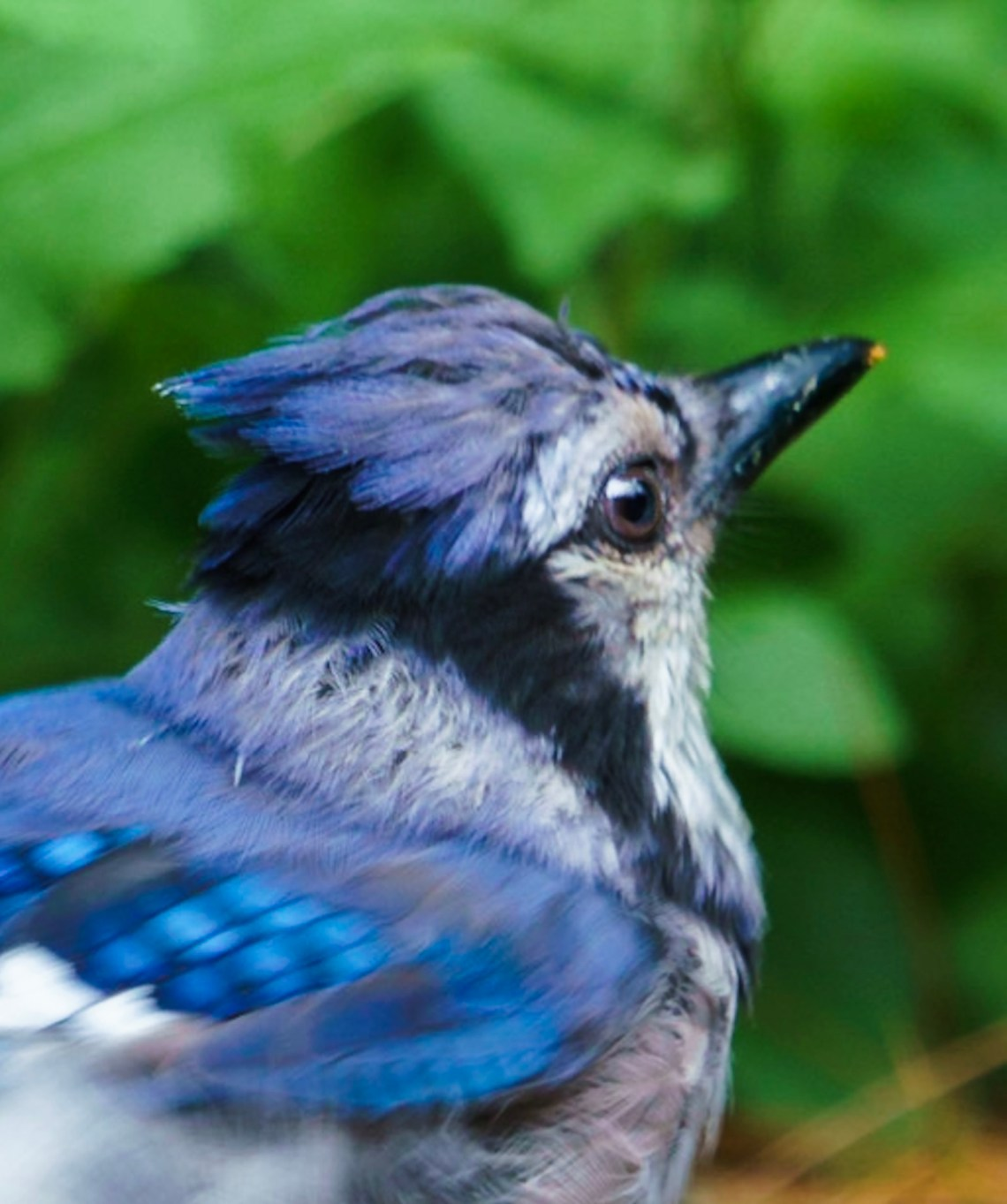 Buster the Blue Jay, #4 of 4