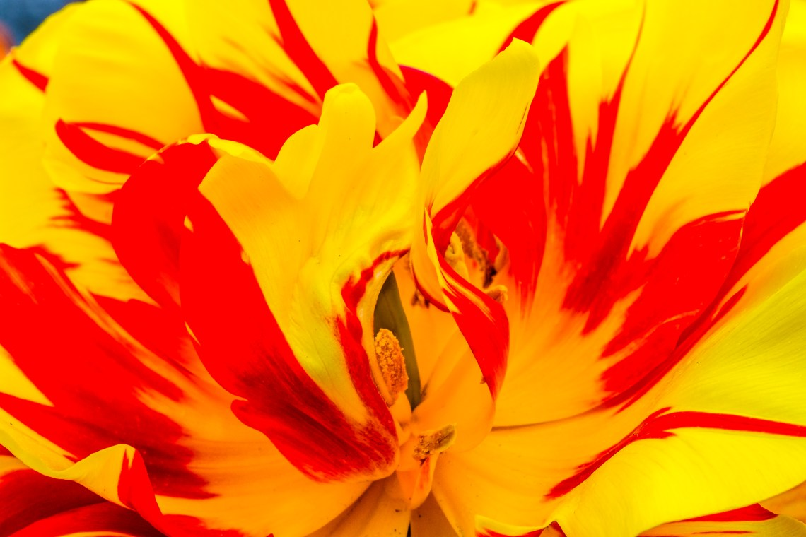 Tulip Conflagration, #2 of 2