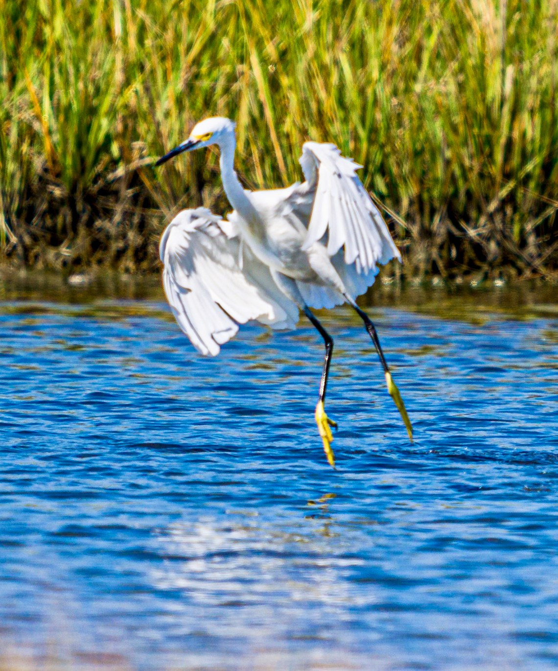 Second in a sequence of 7 photographs showing the Snowy Egret's fishing behavior.