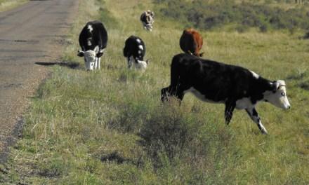 FINALIZÓ EL PERIODO DE PASTOREO EN VÍA PÚBLICA POR EMERGENCIA AGROPECUARIA