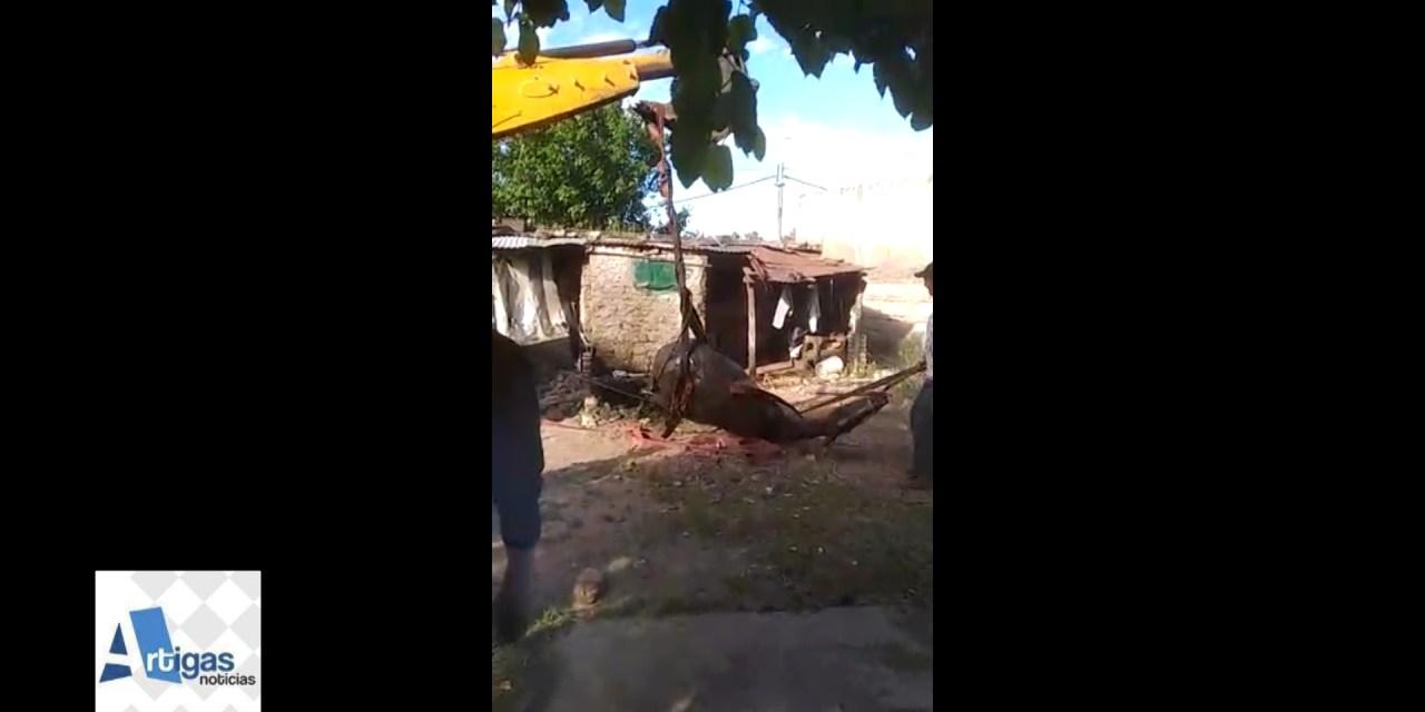 MIENTRAS SE DISPUTABA EL CLÁSICO BOMBEROS JUNTO A FUNCIONARIOS MUNICIPALES RESCATARON UN CABALLO QUE HABÍA CAÍDO EN UN «POZO NEGRO»