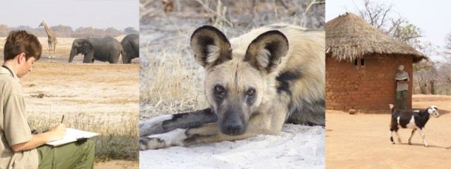 Alison Nicholls painting African wild dogs in Zimbabwe