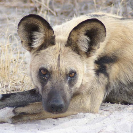 Painted dog, photo by Alison Nicholls