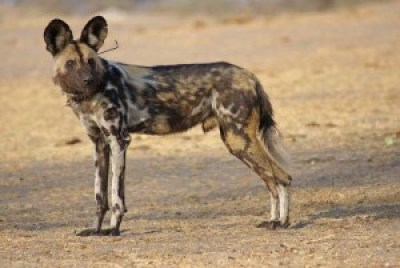 Painted Dog, Zimbabwe