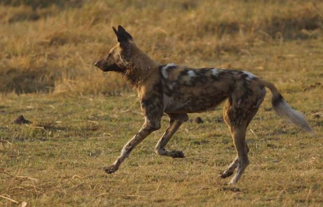 Painted Dog by Nigel Nicholls
