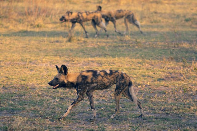 Painted Dogs by Nigel Nicholls