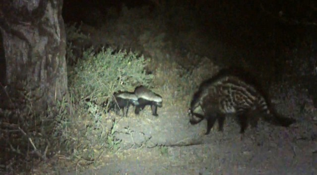 Honey Badger & Civet