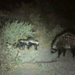 Honey Badger & Civet