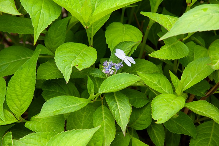 Arctic Blue Mountain hydrangea